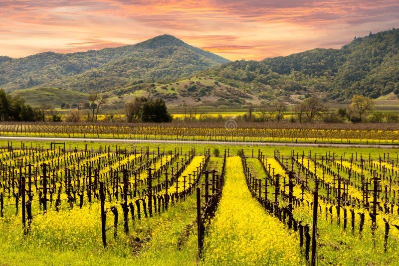 De Wijngaardenzonsopgang van de Napavallei stock foto