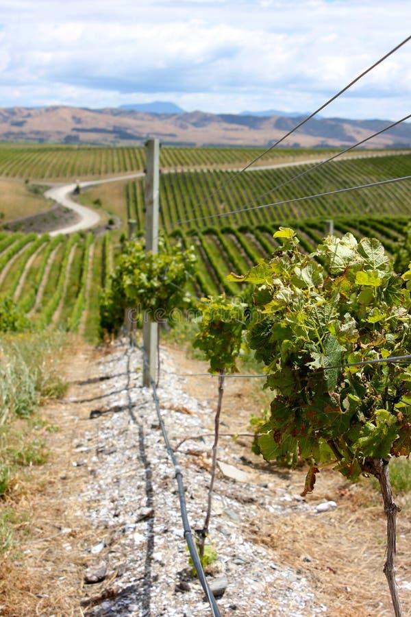De Wijnmakerijgebied van Nieuw Zeeland stock foto
