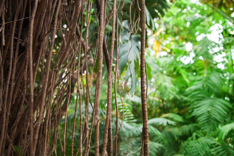 De wijnstok dichte omhooggaand van de Monstera philodendron tropische installatie en bos stock foto's