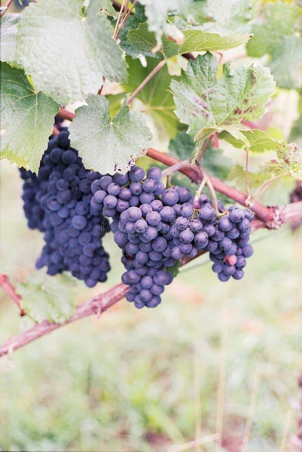 De wijnstok met druiven en doorbladert stock fotografie