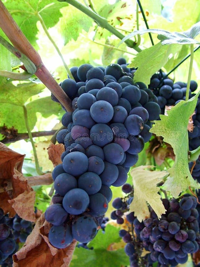 De wijnstok van de chianti stock foto's