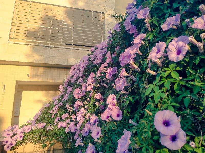 De wijnstok van de ochtendglorie Lilac bloeiende Ipomoea-cairica decoratieve muur Zonsonderganglicht in openlucht de zomertuin va royalty-vrije stock afbeelding