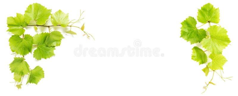 De wijnstok verlaat Groen druivenblad Bloemenbanner stock afbeeldingen