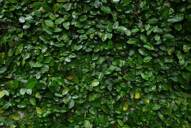 De wijnstokachtergrond van Upclose waterige kruipende fig. royalty-vrije stock afbeeldingen