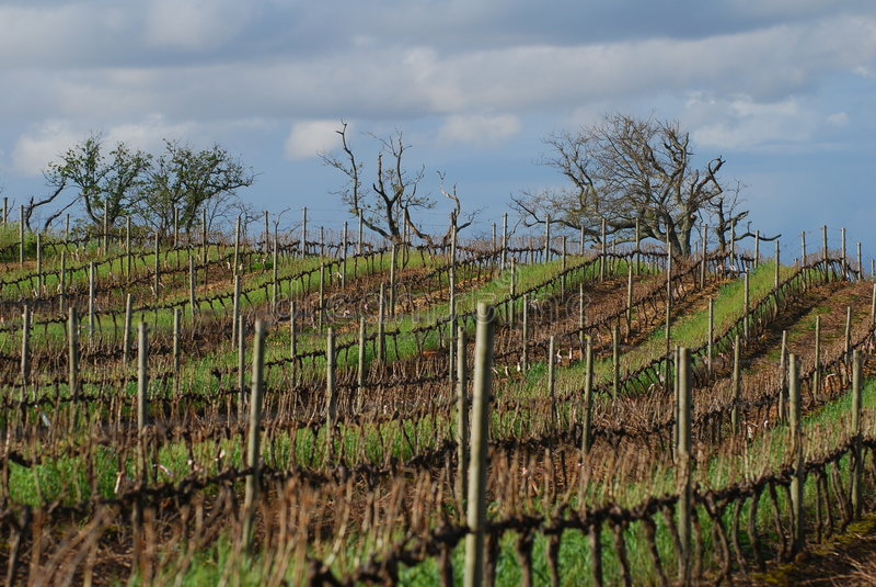De wijnstokken van de winter stock fotografie
