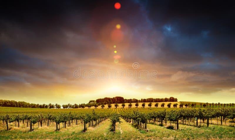 De Wijnstokken van de zonsondergang royalty-vrije stock afbeelding