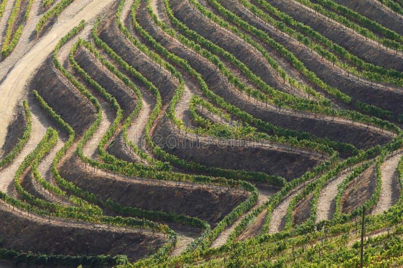 De wijnstokken van Douro royalty-vrije stock foto's