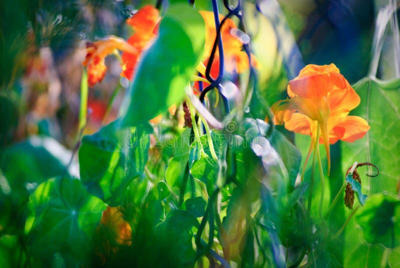 De wikke van de lente royalty-vrije stock afbeelding