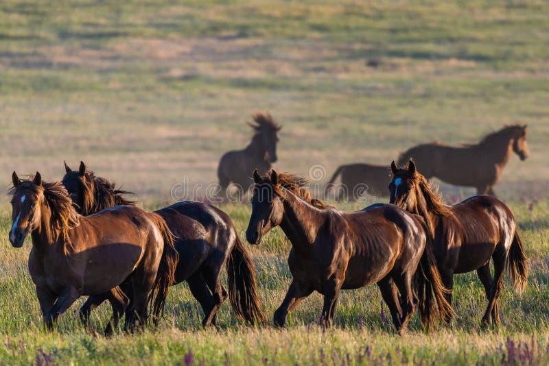 De wild paarden weiden in de weide bij zonsondergang stock afbeelding