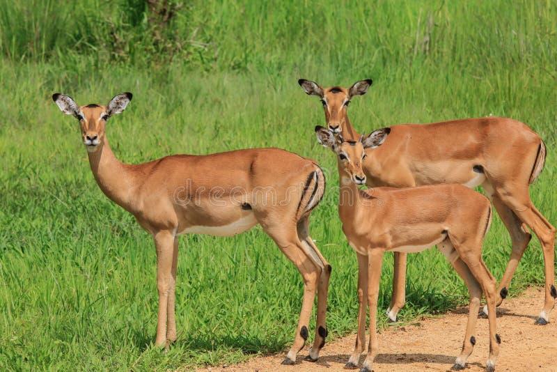 De Wilde Afrikaanse Impala's van Nice in het Nationale Park van Mikumi, Tanzania stock foto