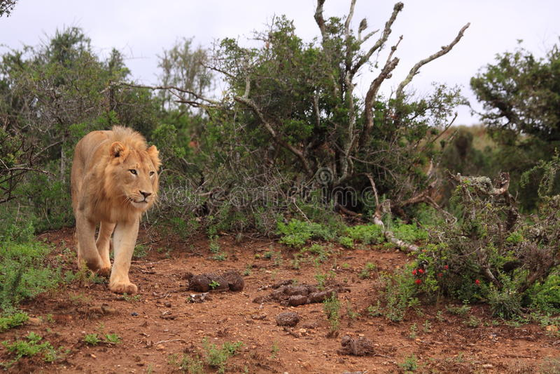 De wilde Afrikaanse mannelijke leeuw jacht stock afbeelding