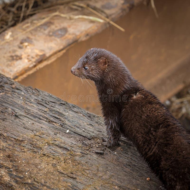 De wilde Amerikaanse mink jacht voor voedsel stock afbeelding