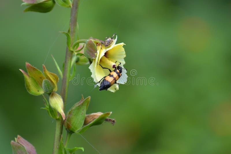 De Wilde Bloem van de muskusmalve en Gele Gestreepte Kever stock afbeeldingen
