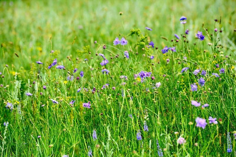 De wilde bloemen in de weide royalty-vrije stock afbeelding