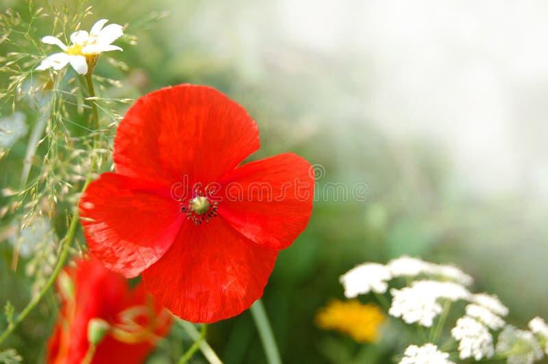 De wilde Bloemen van de Papaver stock foto