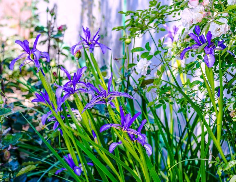 De wilde bloemen van dwerg of lage pumila van de irisiris is species van eeuwigdurende kruidachtig stock afbeelding