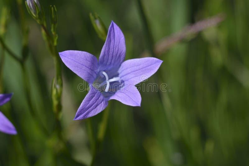 De wilde bloemen van lavendelgrasklokjes, klokjerotundifolia royalty-vrije stock afbeeldingen