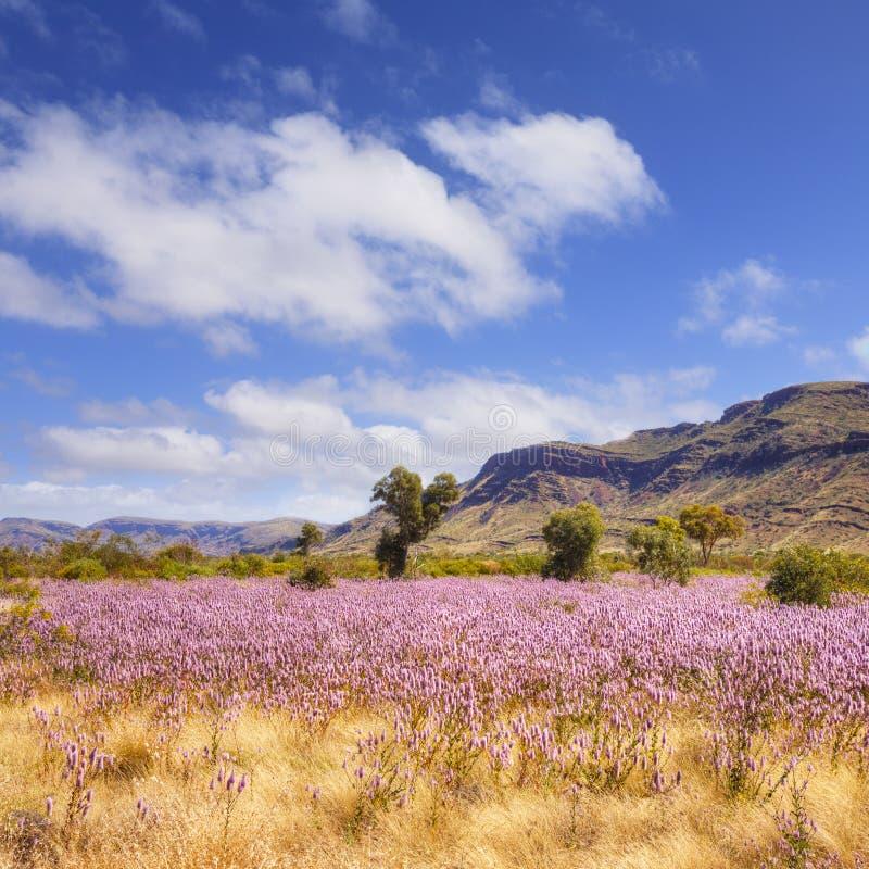 De Wilde Bloemen van Pilbara Westelijk Australië royalty-vrije stock foto's