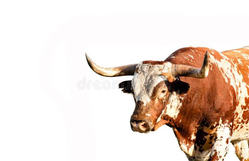 De wilde die stier van Texas longhorn op witte achtergrond wordt geïsoleerd stock foto