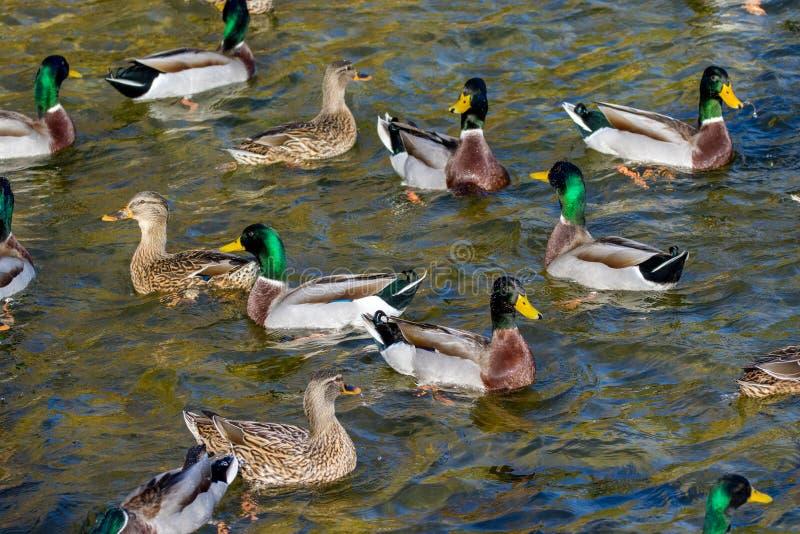 De wilde eenden zwemmen rond de vijver in het park stock afbeeldingen