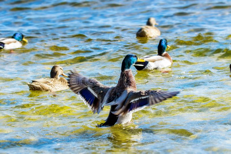 De wilde eenden zwemmen rond de vijver in het park royalty-vrije stock afbeelding