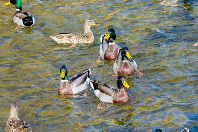 De wilde eenden zwemmen rond de vijver in het park stock fotografie