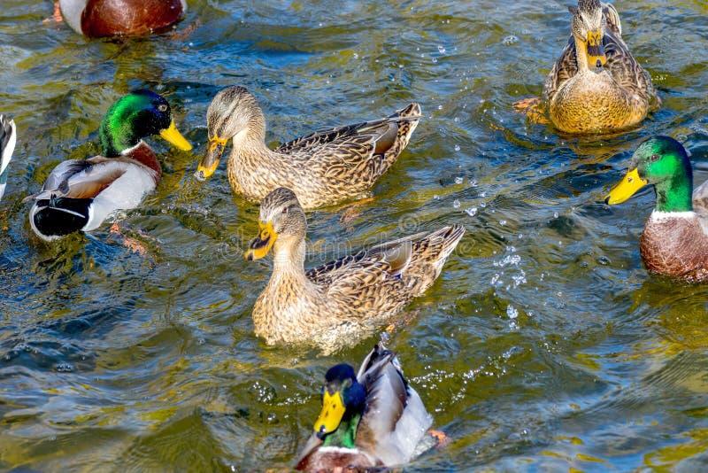 De wilde eenden zwemmen rond de vijver in het park stock afbeelding