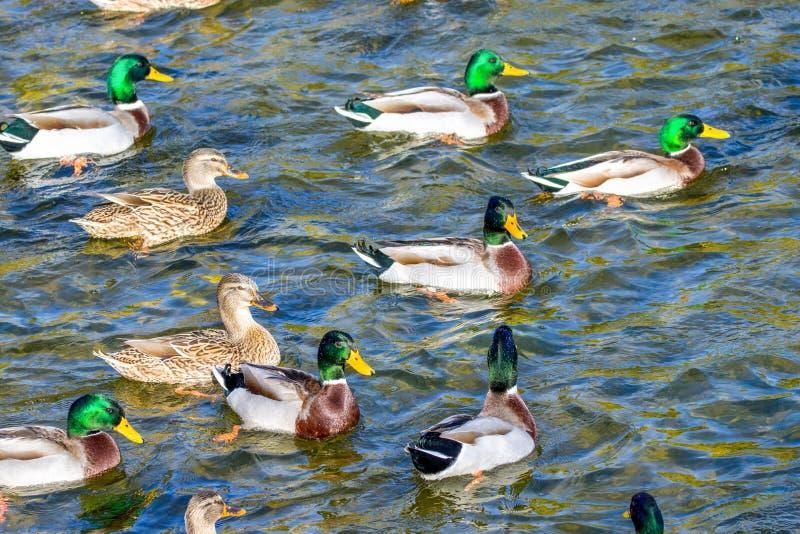 De wilde eenden zwemmen rond de vijver in het park stock foto's