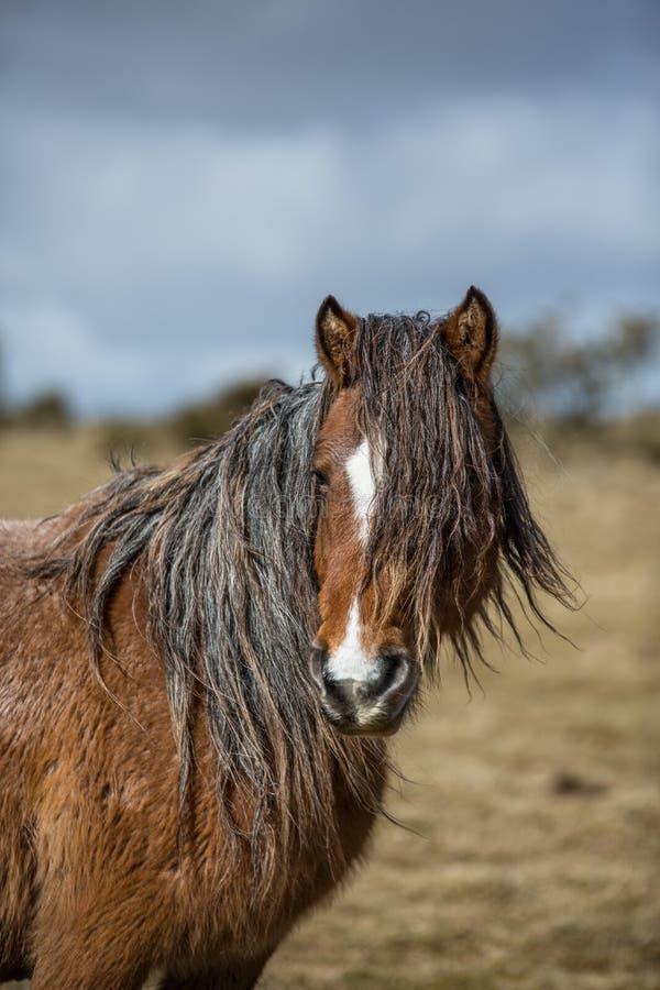 De wilde heideponey op Bodmin legt, Cornwall vast stock foto's