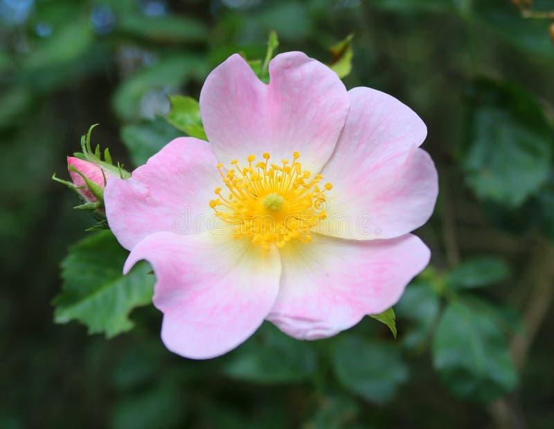 De wilde het groeien rozen met roze bloemen, sluiten omhoog stock fotografie