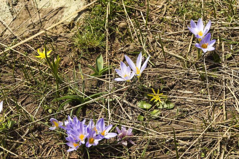 de wilde wilde irissen groeien op een gebied op een droog gras stock foto's