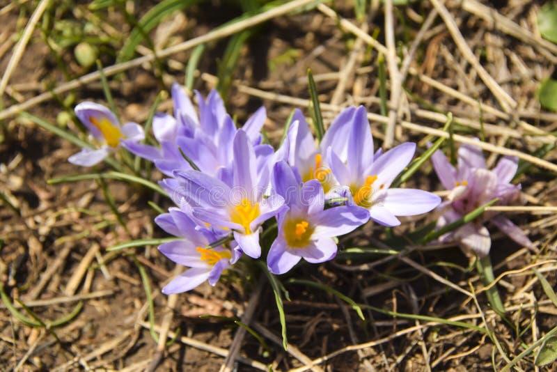 De wilde wilde irissen groeien op een gebied op een droog gras royalty-vrije stock afbeeldingen