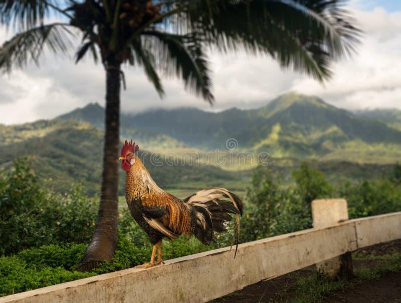 De wilde jonge haan in Princeville overziet Kauai royalty-vrije stock afbeeldingen