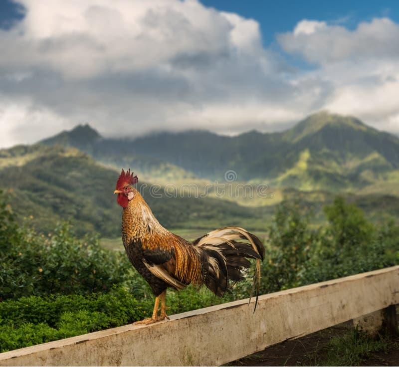 De wilde jonge haan in Princeville overziet Kauai stock foto's