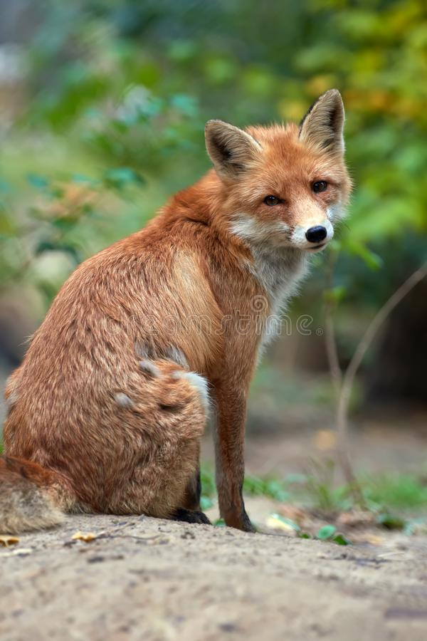 De wilde jonge rode vos vulpes vulpes vixen het reinigen in een bos stock foto