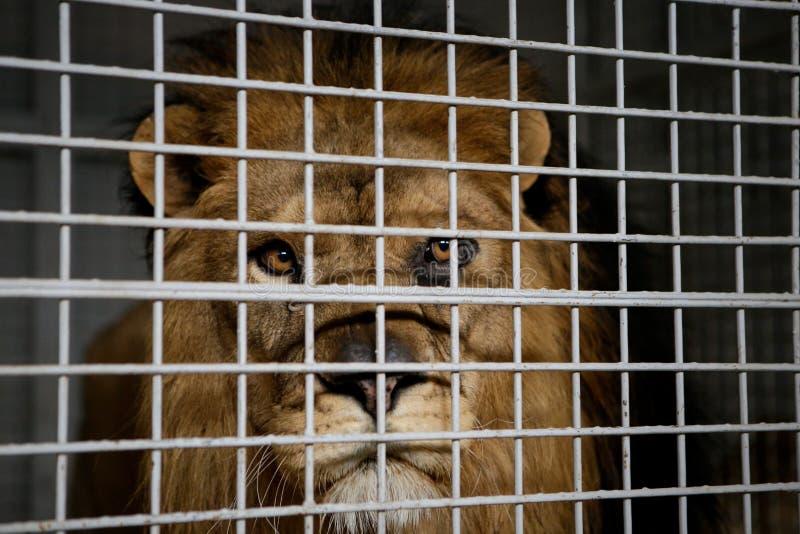 De wilde mannelijke leeuw hield in kooi binnen een circusmenagerie - dierlijk misbruik royalty-vrije stock fotografie