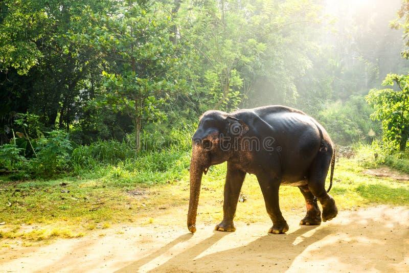 De wilde olifant van Ceylon in tropische wildernis royalty-vrije stock afbeelding