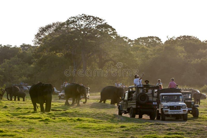 De wilde olifanten wandelen voorbij safarijeeps in het Nationale Park van Minneriya in centraal Sri Lanka stock afbeelding