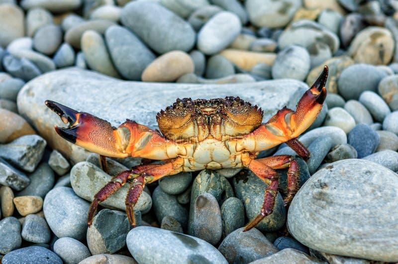 De wilde overzeese krab met het bedreigen van klauwen in het verdedigen stelt bij de zomerkust op grijze rotsachtige strandachter stock foto's