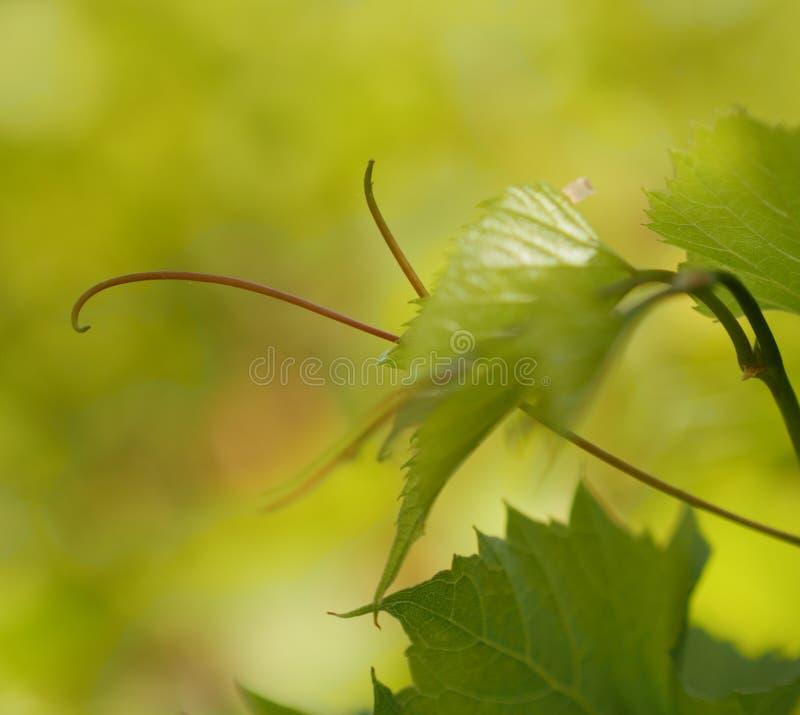 De wilde rank van het druivenblad royalty-vrije stock afbeeldingen