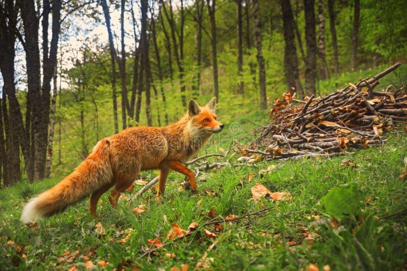 De wilde rode pluizige vos met nieuwsgierige blik loopt in het bos op gra stock foto's