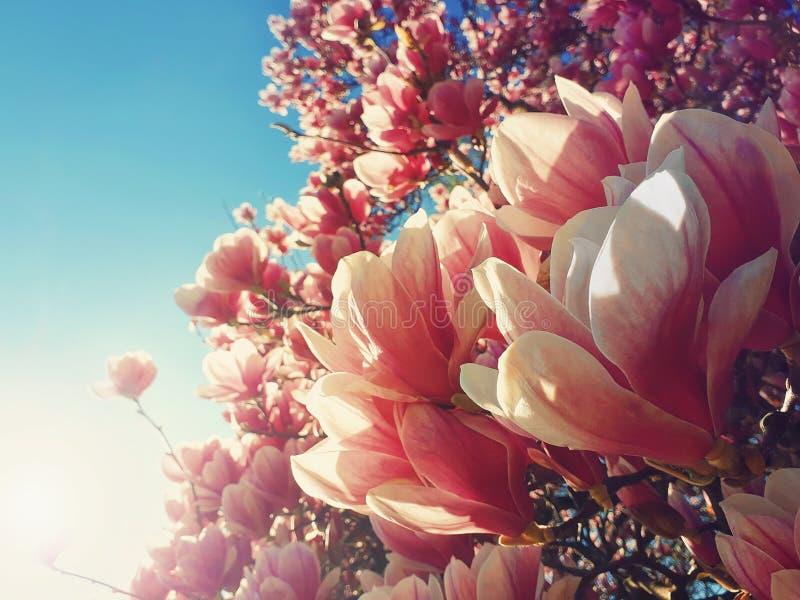 De wilde roze knoppen die van de magnoliaboom tegen zonstralen bloeien De takken van de de lentebloem in het park royalty-vrije stock foto