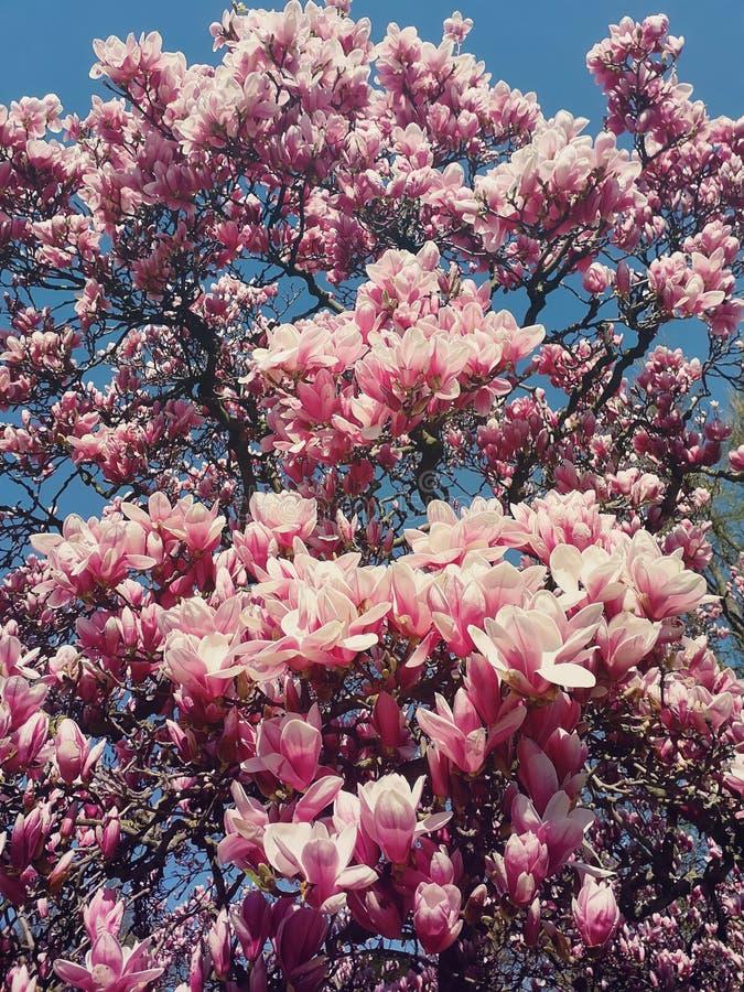 De wilde roze magnoliaboom ontluikt het bloeien, bloemenpatroon over zonnige blauwe hemel stock fotografie