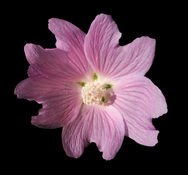 De wilde roze malvebloem op zwarte isoleerde achtergrond met het knippen van weg geen schaduwen close-up royalty-vrije stock foto