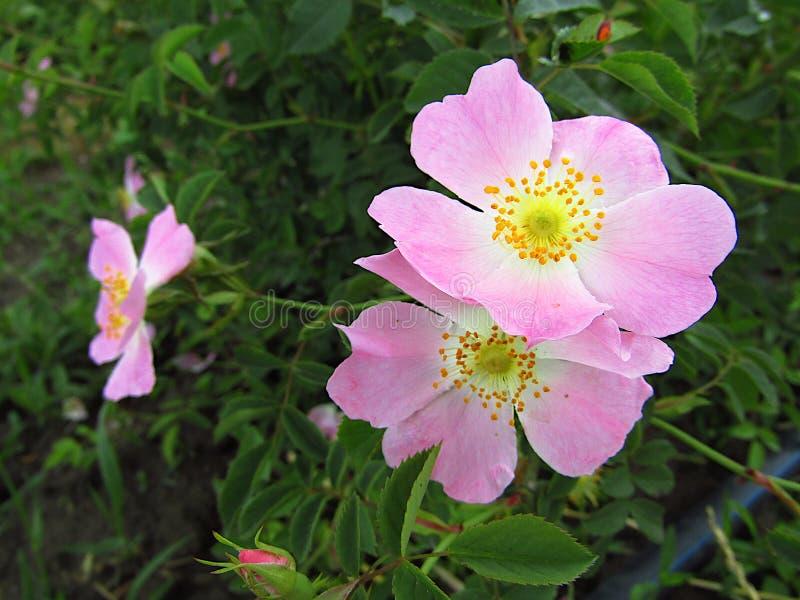 De wilde rozebottelbloemen, namen Rosa canina toe, nam de Hond, geneeskrachtige installatie, close-up toe stock foto