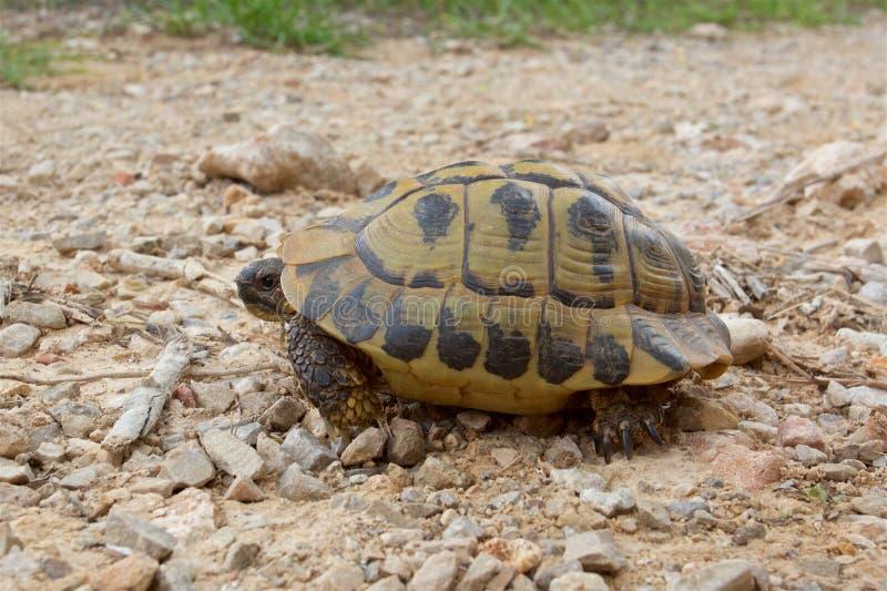 De wilde schildpad van Hermann ` s op het Eiland Minorca stock foto's