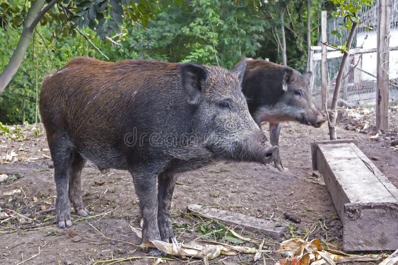 De wilde varkens in de openbare bosbijlage worden gehouden voor reproductie en verdere versie in de wildernis stock afbeeldingen