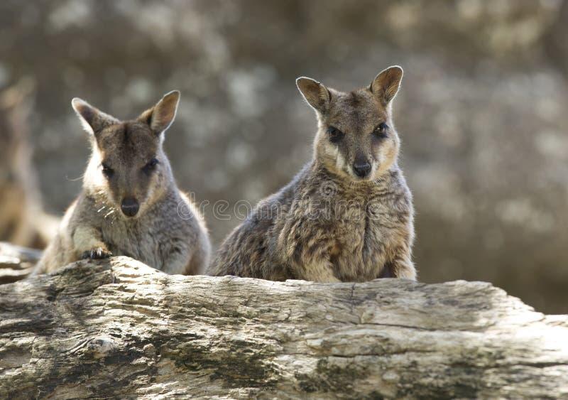 De wilde wallabys van de mareebarots, mitchell rivier, Steenhopen, Queensland, stock fotografie