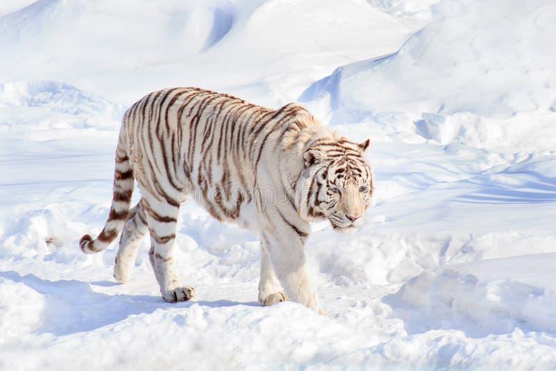 De wilde witte tijger van Bengalen loopt op witte sneeuw stock fotografie
