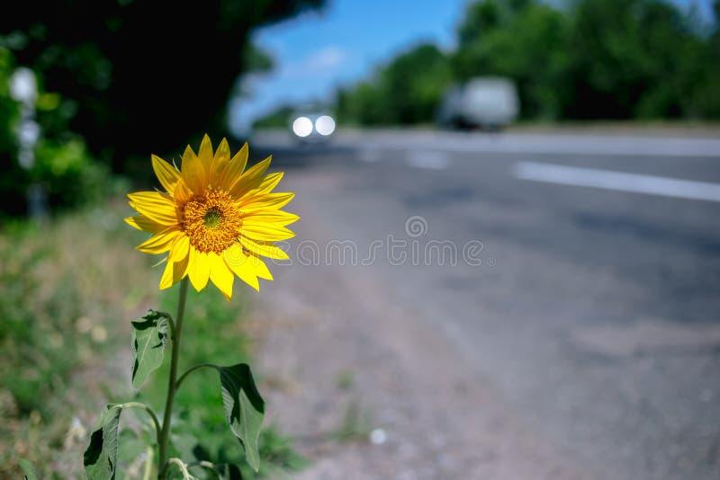 De wilde zonnebloem groeit bij de rand van de weg stock foto